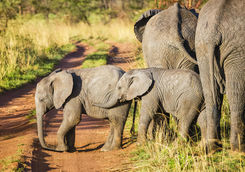 African bush elephant calves in Serengeti