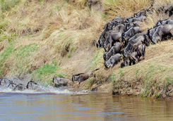 Wildebeest migration across the Mara river