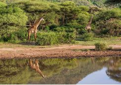 Giraffes by Lake Manyara