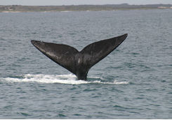 Southern Right Whale tail