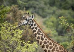 Akagera National Park Giraffe