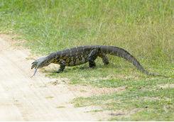 Akagera National Park lizard