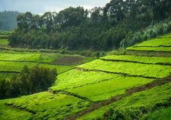 Nyungwe National Park tea plantation