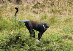 L'Hoests's monkeys