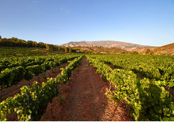 Vineyards in Andalucia