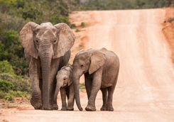 Three generations of elephants