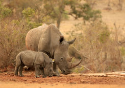 Rhinoceros in South Africa
