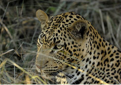 Resting male leopard in Sabi Sands