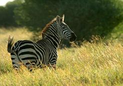 Zebra in Laikipia