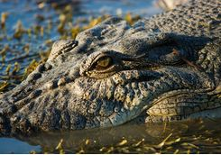 Close up of a crocodile
