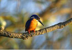 Kingfisher bird on a branch