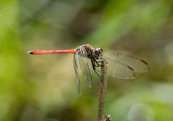 Australasian slim-wing dragonfly