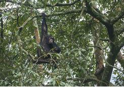 Hanging Chimpanzee