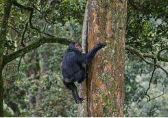 Chimpanzee Climbing a Tree