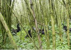 Gorillas Between the Trees