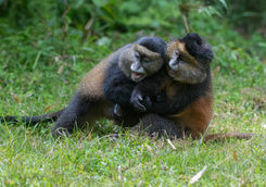 Golden Monkeys Playing