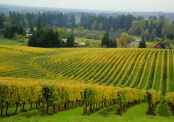 Vineyard in Oregon