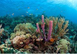 Coral in Grenada