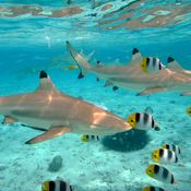 sharks french polynesia