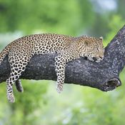 A leopard snoozing on a tree in Zambia