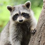 A racoon on a tree