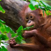 Baby orangutan eating