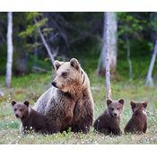 Canada bears