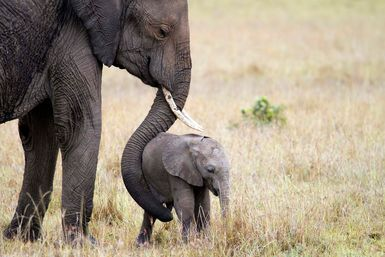 Mother and elephant calf
