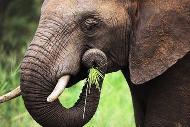 Image of an elephant eating grass