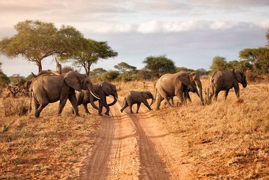 Elephants crossing a track