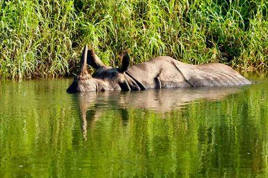 Rhino swimming