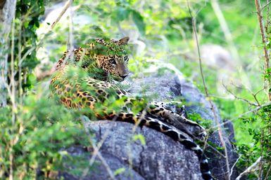 Leopard in Yala National Park