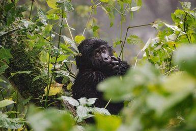 Baby gorilla in tree