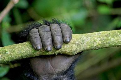 Gorilla hand on branch