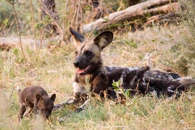 Wild dog with pups in den