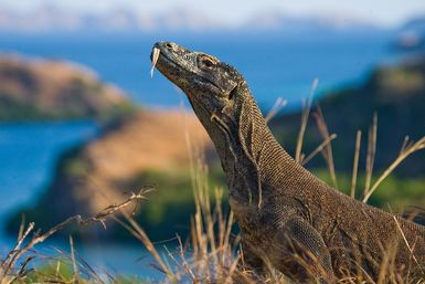 Komodo dragon with ocean in the background