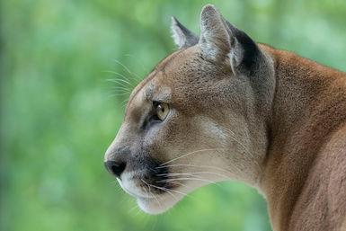 Puma close up