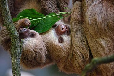 Sloths eating