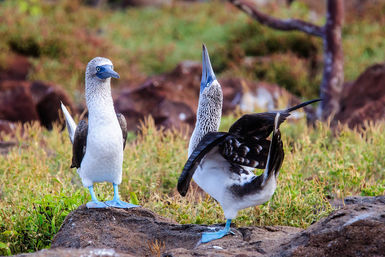 Courtship rituals, blue-footed boobies