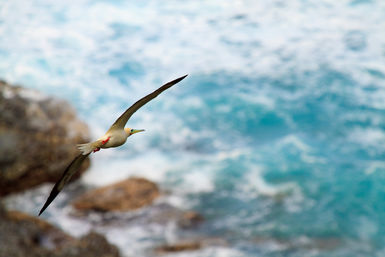 Red-footed booby flying
