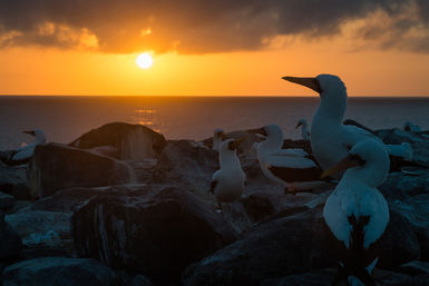 Nazca boobies in the Galapagos