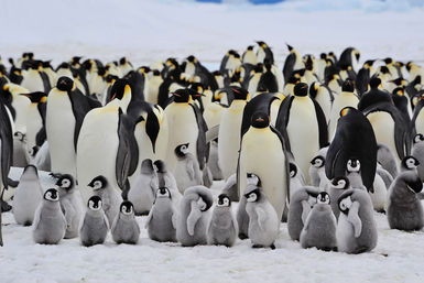 Breeding season for Emperor penguins
