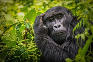 Gorilla in forest