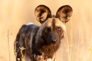 Wild dog close up