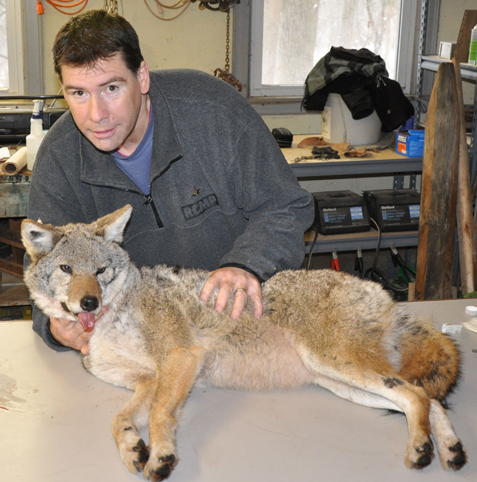 Stan Gehrt with coyote