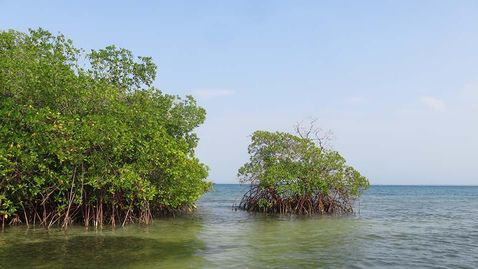 2018 1109 Blue carbon mangrove 960.jpg