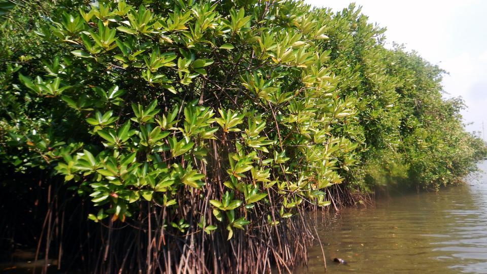 [Abdul Riyas] Mangroves.jpg