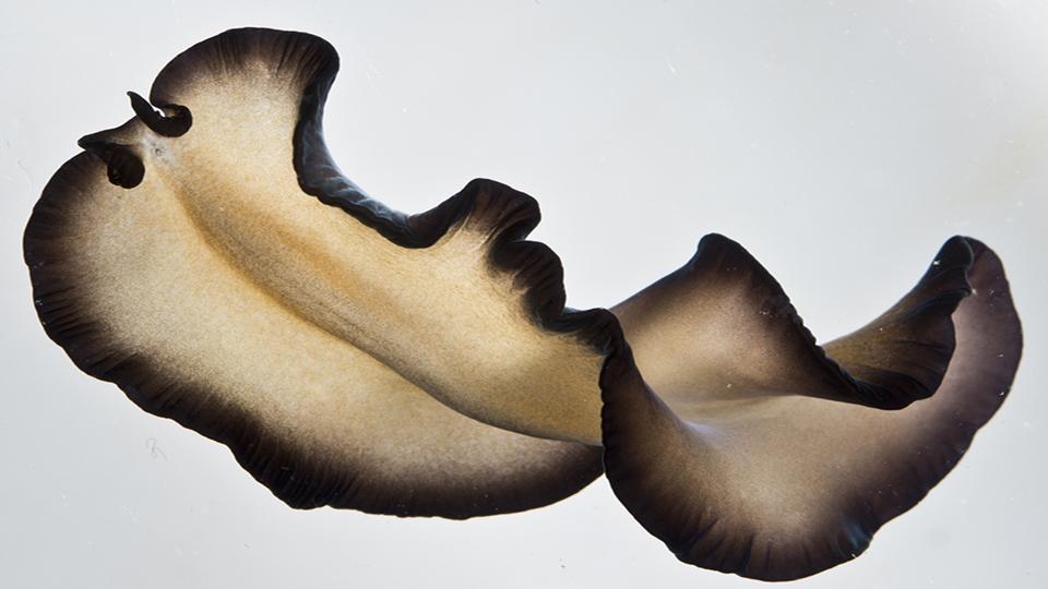Pseudobiceros sp. 1_960x540.jpg
