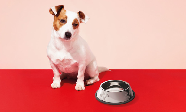 Jack Russell dog looking at an empty food bowl