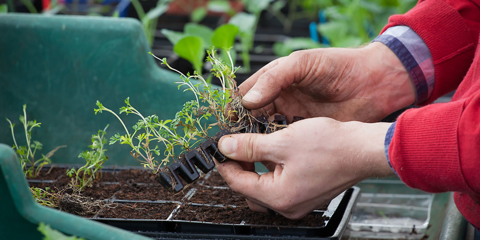Pot on your plants for more flowers and veg